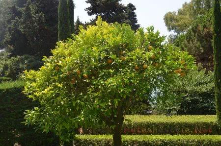 Апельсиновое дерево в Саду Святой Клотильды