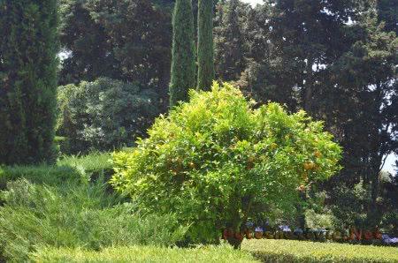 Зрелые апельсины в Саду Святой Клотильды в Ллорет-де-Мар