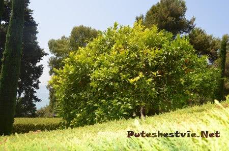 Созревшие плоды апельсина в Саду Святой Клотильды