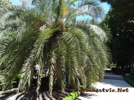 Раскидистая пальма в Ботаническом саду Мадрида