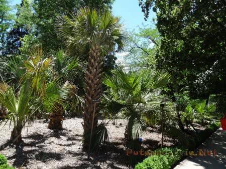 Пальмовая аллея Ботанического сада Мадрида