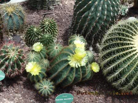 Цветущий кактус в Ботаническом саду Мадрида