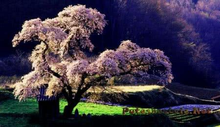 Ханами - праздник цветения сакуры