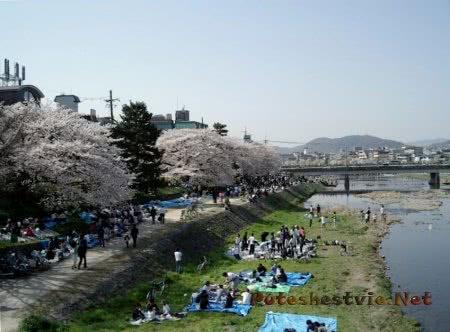 праздник в Японии когда цветет сакура