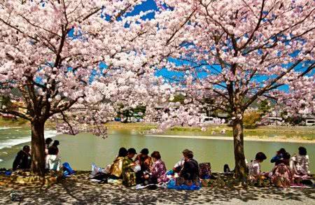 цветения сакуры - праздник в Японии