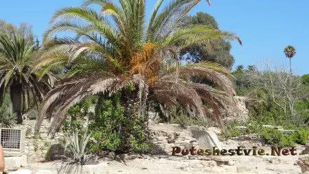 Пальмы на территории римских терм Карфагена