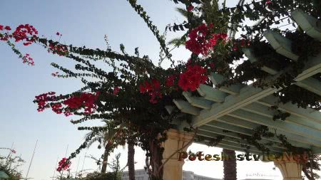Бугенвиллии на арках района Ясмин